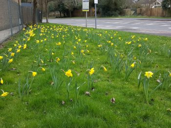 456 daffodils at the Final Turn
